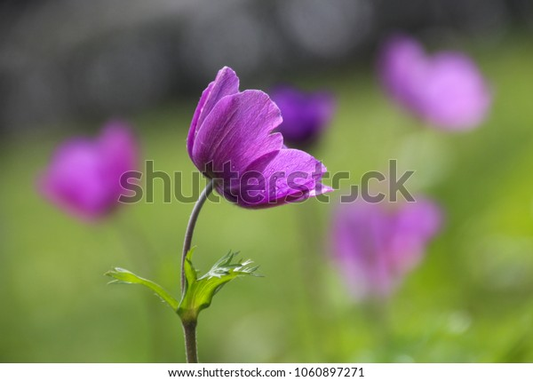 Close up view of a beautiful purple-pink Anemone in a green meadow. Copy space. Villa Borghese, Rome, Italy