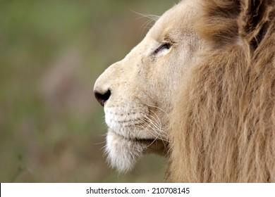 Lion Face Side View Images, Stock Photos & Vectors | Shutterstock