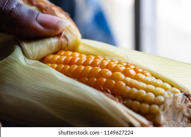 Close up view of Black African American Woman's hands cleaning or peeling boiled corn on the cob for summer food concept