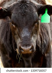 A close up view of a Black Angus Cow feeding on spring grass .