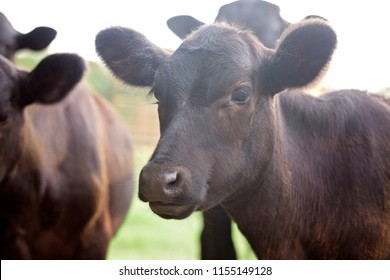An Close Up View of a Black Calf in a Field
