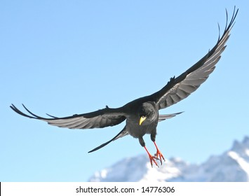 Close view of a black daw flying straight to you