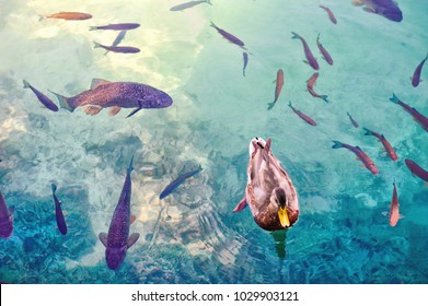 Close view of a  black duck and a big fishes in a water