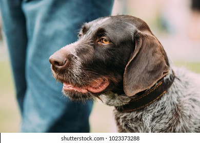 Close View Of Black German Wirehaired Pointer Dog.