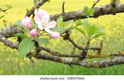 Nahaufnahme eines blühenden Obstbaums in Deutschland