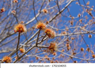 Close up view of blossoming red and orange flowers on a red maple tree (acer rubrum) in spring