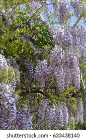 close view of blossoming wisteria branches
