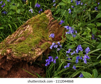 A close up view of bluebells brightening a decaying section of a tree trunk at Abbeystead, Trough of Bowland, Lancashire