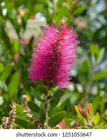 Close up view of bottle brush (Callistemon) flower which is native to Australia