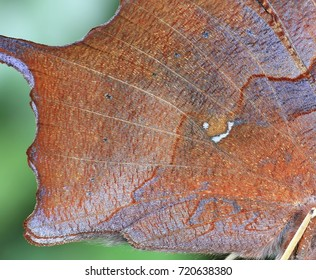 Close- up view of the bottom ventral wing of a Question Mark butterfly (Polygonia interrogationis).