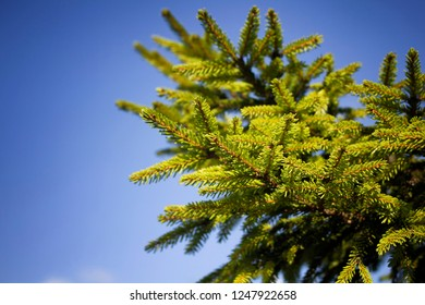 Close up view of branches of a pine tree with clear blue sky background. It is a sunny day. The image is captured in Trabzon/Rize area of Black Sea region located at northeast of Turkey.