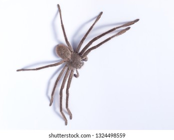 Close up view of brown huntsman spider (family Sparassidae) on white background on Kangaroo Island in Australia.