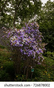 Close up view of the Brunfelsia pauciflora flower on a garden.