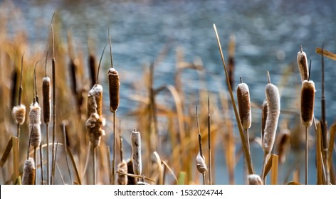 A close up view of bull rushes otherwise known as cats tails against a blurred pond background.