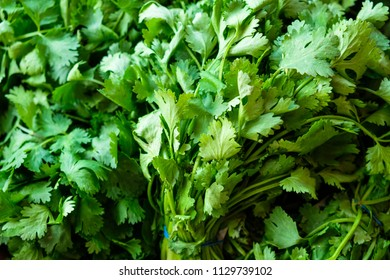 Close up view of bunches of fresh cilantro or coriander herb.