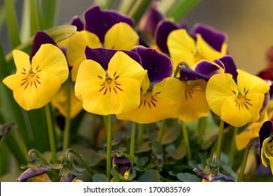 close up view of a bundle of violets