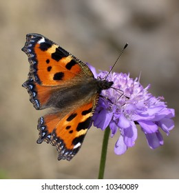 Close view of a butterfly sucking nectar on a flower (knautia arvensis)