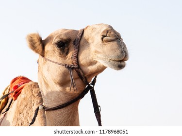 Close up view of camel from Dubai