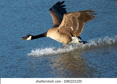 Close view of a Canada goose, seen landing  (and honking) over a North California marsh