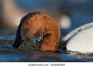 A close view of a Canvasback Duck surfacing with water beads all over its head in the bright sun.