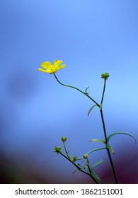 Close up view to the Caustic buttercup on phantom blue background.
