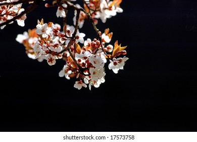 Close view of a cherry tree branch isolated on a black background