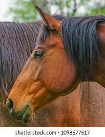 Up close view of a chestnut brown horse beside another in a field