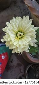 close view of chrysanthemum flower of my garden