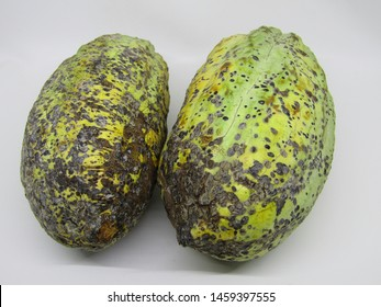 Close up view of cocoa fruit pods open cut half slices and exposing coca beans inside. Fresh raw organic grow pick by farmer from tree theobroma cacao plant garden farm. Yellow brown green spots color