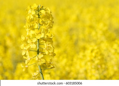 close view of colza in bloom on yellow background