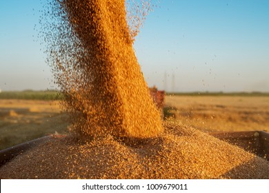 Close up view of combine harvester pouring a tractor-trailer with grain during harvesting.