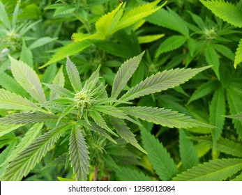Close up view of commercially grown hemp plants beginning to flower. Industrial hemp farming for production of CBD oil and other products. 2018 Farm Bill passage legalizes hemp farming.