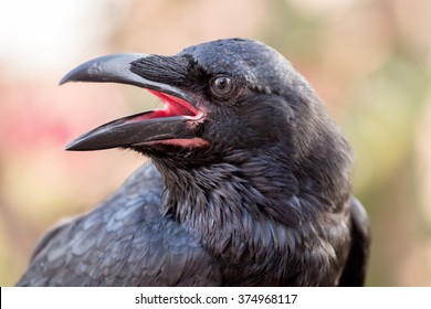 Close up view of a common raven (Corvus corax) bird.
