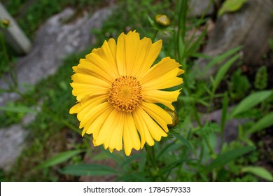 Close up view of coreopsis lance-leaved