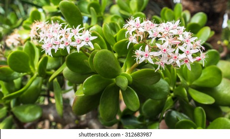 Close Up View of the Crassula Ovata or Jade Plant with Blossoming White and Pink Flowers During Spring