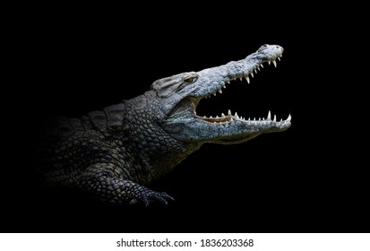Close up view crocodile. Wild animal isolated on a black background