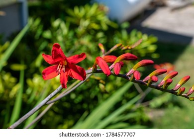 Close up view of croscomia flowers