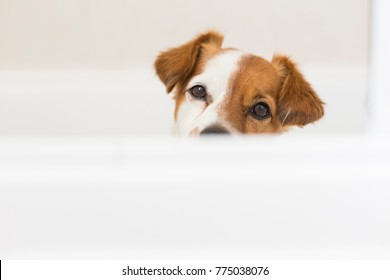 close up view of a cute lovely white and brown small dog wet in bathtub looking at the camera. white background. Indoors