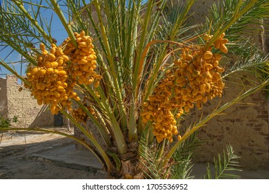 Close up View of Date Palm Tree