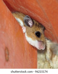 Close- up view of a Deer Mouse (Peromyscus maniculatus) peering out from inside a bird house.