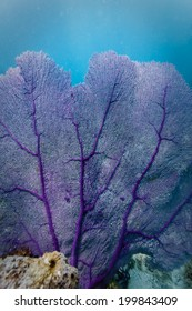 close up view of delicate veins on branches of Purple Sea Fan contrasted against turquoise water in Caribbean