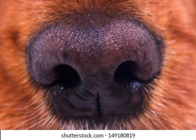 Close up view of dog nose.