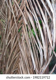 Close up view of dried coconut leaves.  Dried coconut leaves can be burned to ash, which can be harvested for lime.