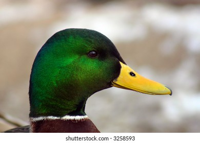 Close up view of duck's head showing details in the feathers and beak.