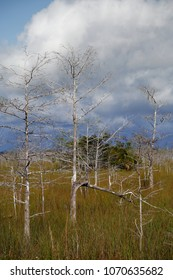 Close up view of Dwarf Cypress trees growing in the waters of the Florida Everglades. Dwarf Cypress trees are the only coniferous trees that lose their leaves in the wintertime