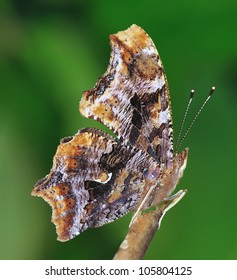 Close- up view of an Eastern Comma butterfly (Polygonia comma).