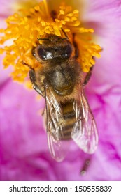 Close up view of an European honey bee (Apis mellifera) collecting nectar from a flower.