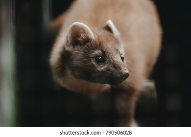Close up view of European Mink