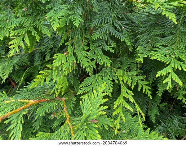 a close up view of evergreen pine green limbs branches leafs lush green in bright sunlight