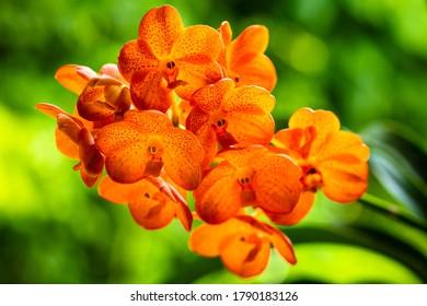 Vue en gros plan d'une plante d'orchidée de vanda tangerine tachetée exotique en fleurs.